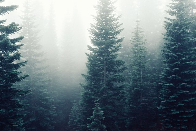 Pine trees in fog